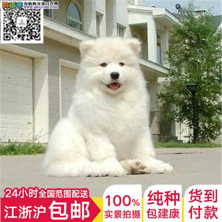 上海犬舍萨摩耶骨量足健康完美犬全国发货