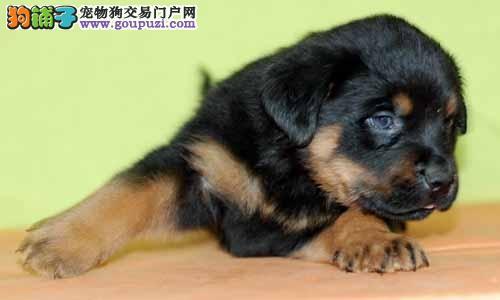 高品质罗威纳 血统纯正 正规犬舍繁殖 大骨量大