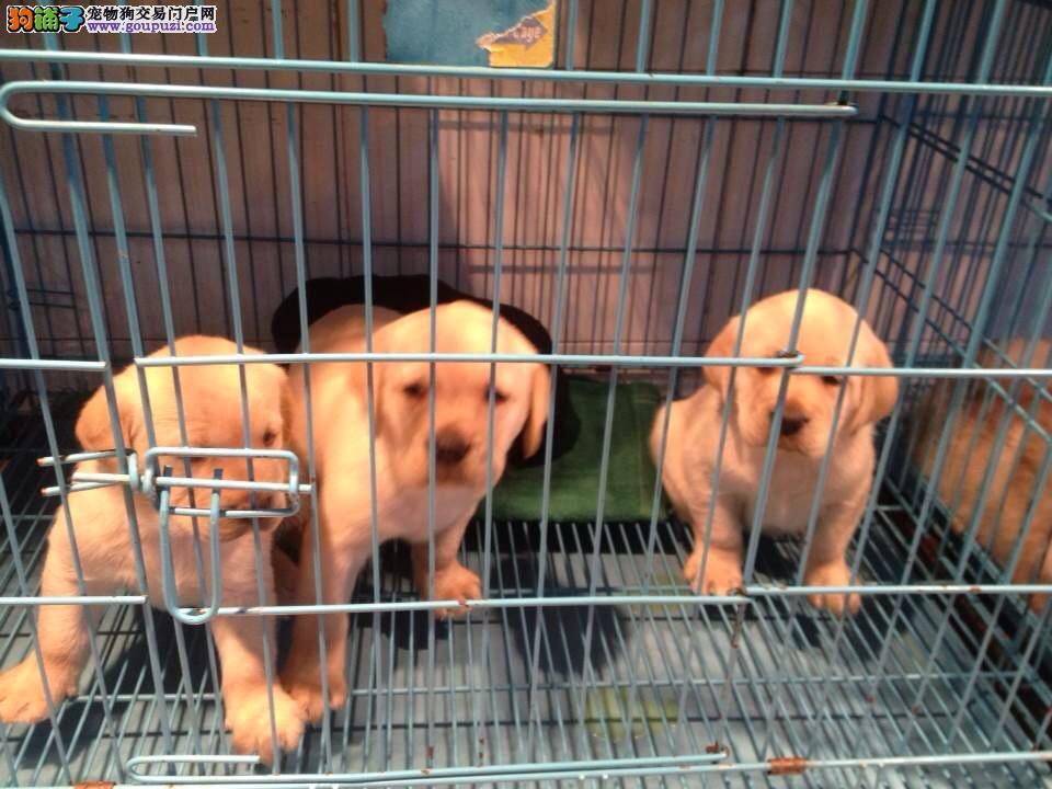 青浦区CKU认证拉布拉多犬两三个月的小狗。