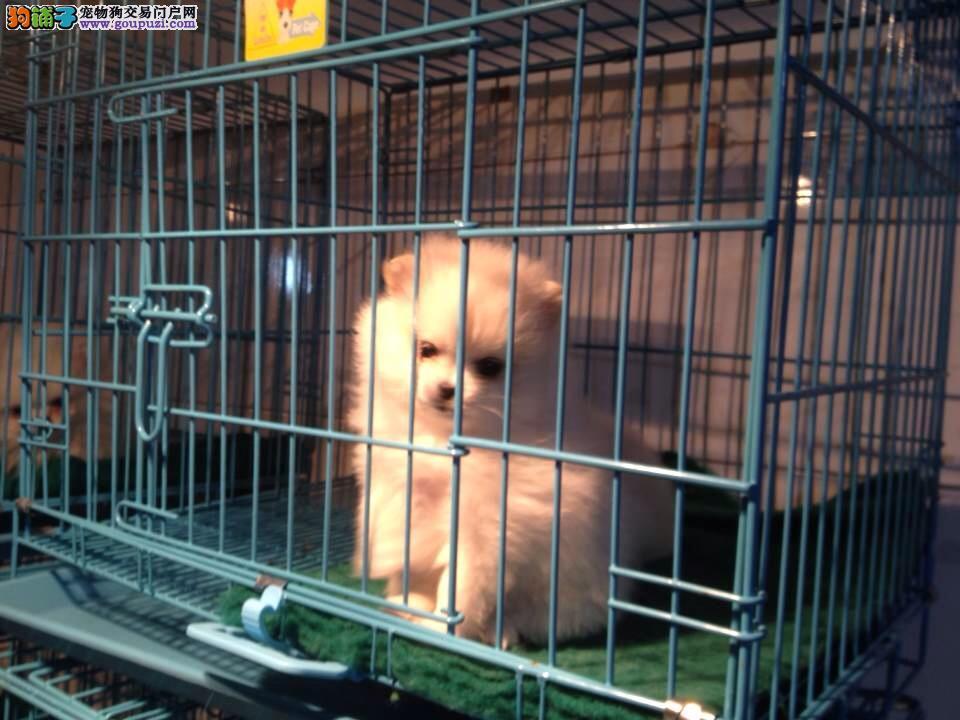 品质第一博美犬直销点丶专业繁殖博美犬狗场