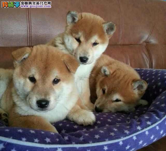 AKC认证柴犬狗市场 青浦区多种颜色柴犬价