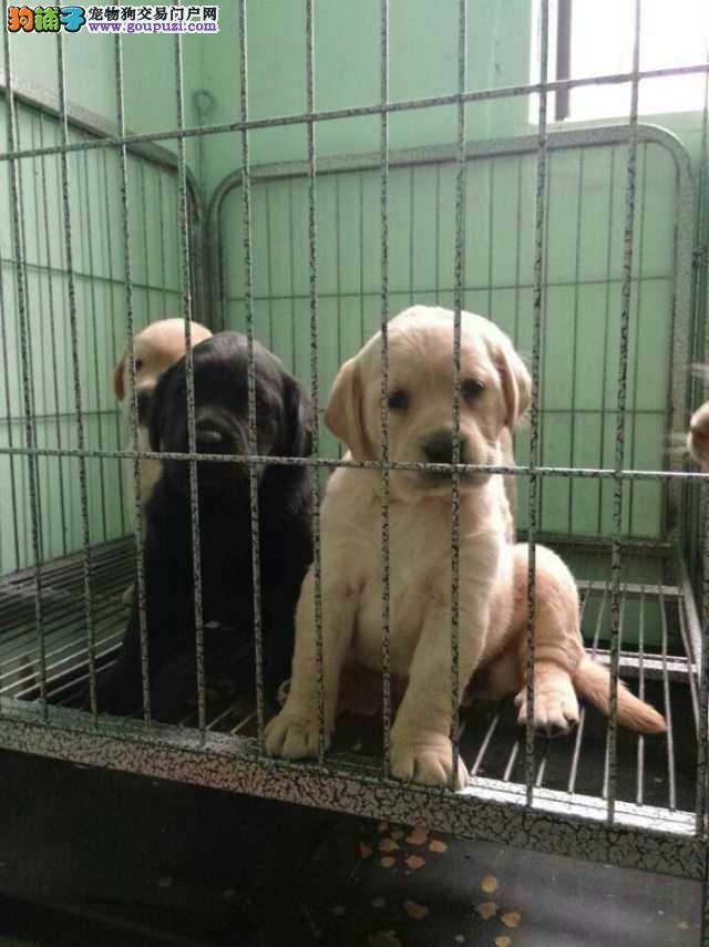 纯种健康拉布拉多犬出售价格丶金山区品质第