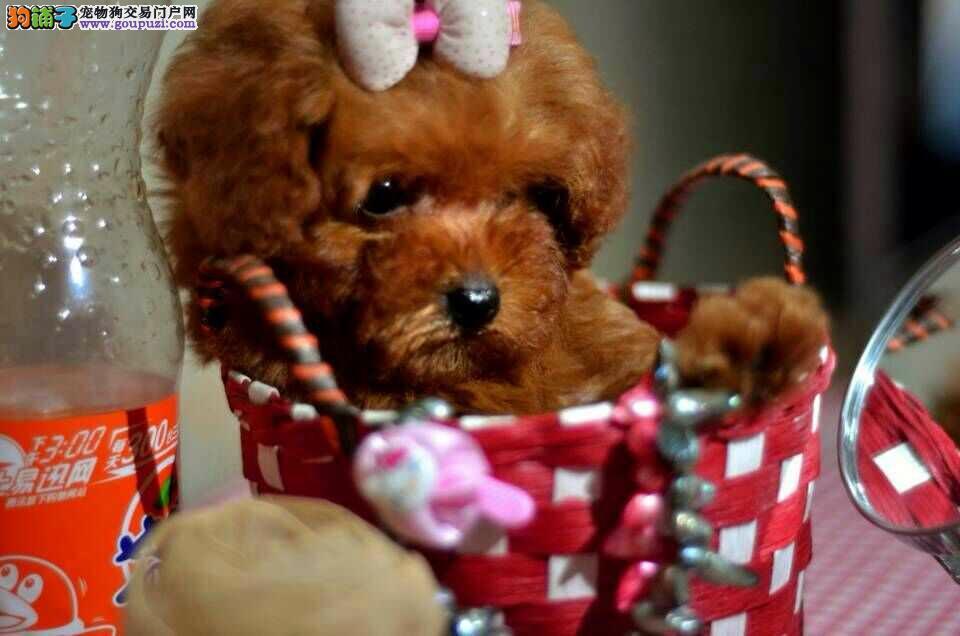 纯种健康茶杯犬小狗丶金山区纯种茶杯犬出售
