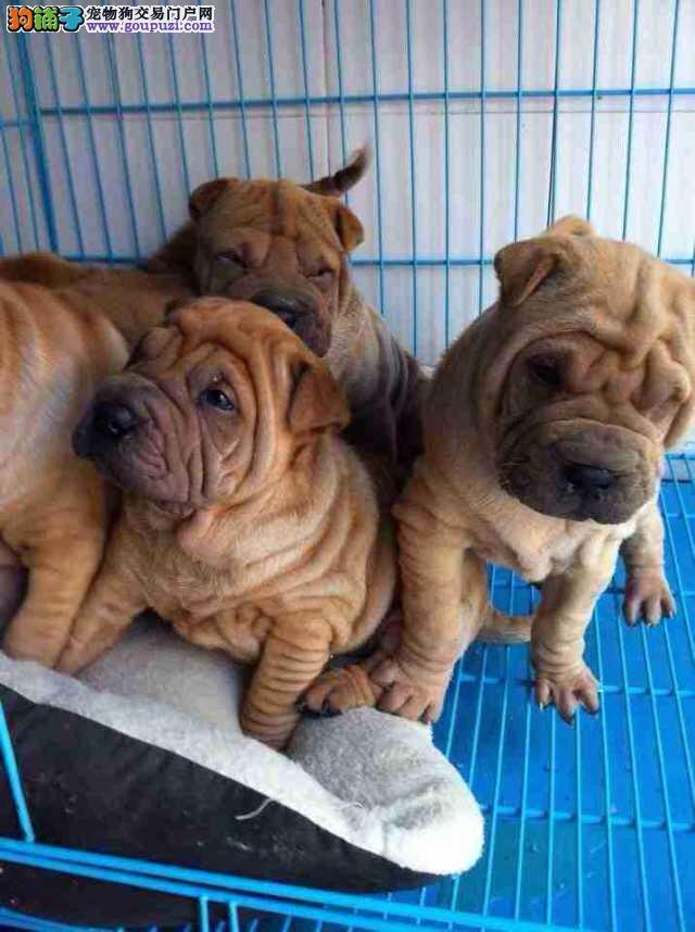 出售沙皮狗出售价格 优良品质沙皮狗犬舍繁