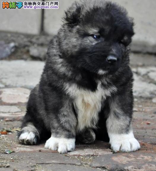 多种颜色高加索小犬;嘉定区忠实聪明高加索