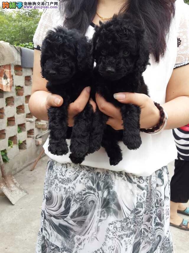 出售纯度第一泰迪犬狗场 嘉定区泰迪犬多少