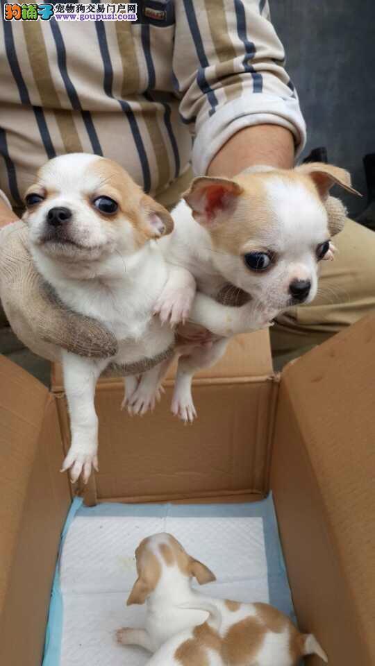 精品吉娃娃小犬。松江区常年直销吉娃娃狗市