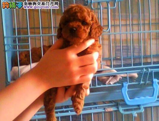AKC认证高品质其它狗狗哪里有 松江区其它狗