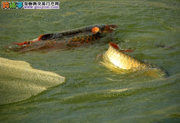 广州哪里可以买到 龙鱼
