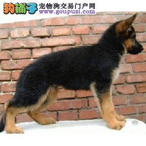 专业繁殖德国牧羊犬 血统纯种 可实地挑选 可送到家