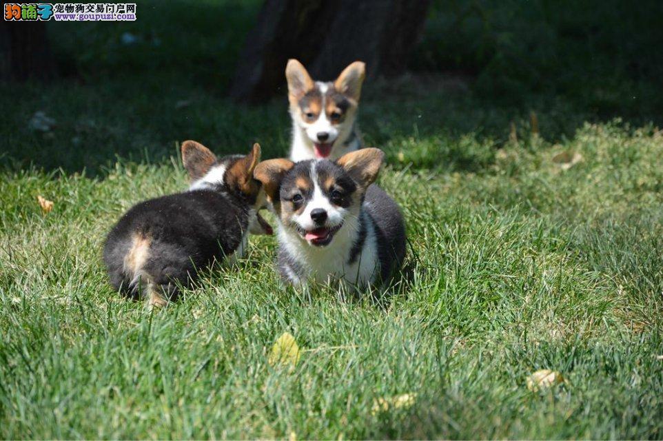 犬舍出售高品质柯基犬带血统 终身质保 签订协议可送货