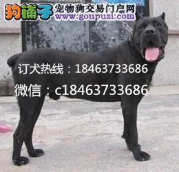 武汉市纯种卡斯罗多少钱/武汉市卡斯罗幼犬哪里买