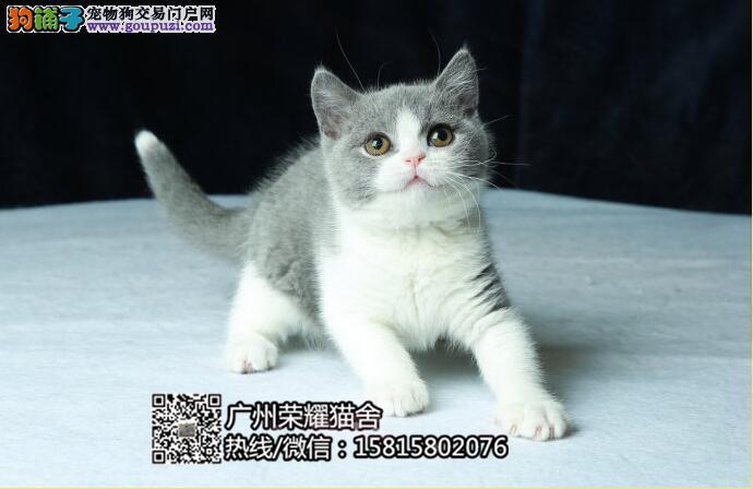 广州白云区哪里有卖纯种英短蓝猫 广州白云纯种蓝猫