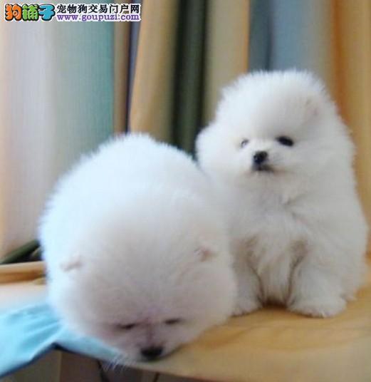 哈尔滨地区出售哈多利博美俊介版宠物狗