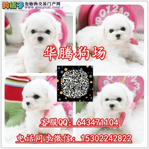 广州比熊犬价格多少纯种迷你比熊幼犬价钱多少