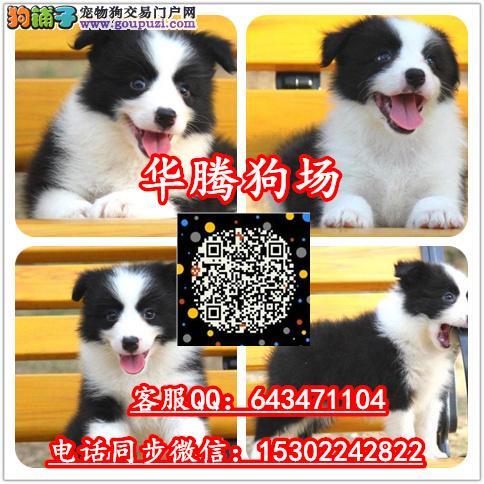 广州哪里有卖边境牧羊犬价格多少钱纯种边牧幼犬价钱