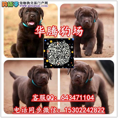 广州拉布拉多狗场纯种拉布拉多犬舍拉布拉多价钱