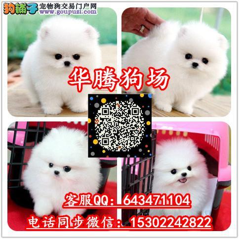 广州哪里有卖博美犬价钱多少纯种博美幼犬多少钱