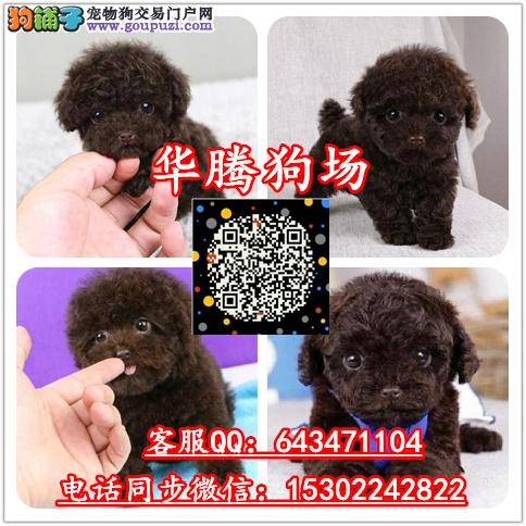 广州哪里有卖红色茶杯泰迪幼犬价钱多少纯种泰迪熊价格