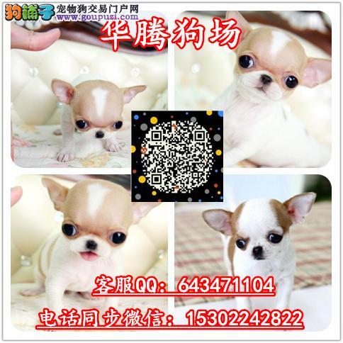 广州哪里有卖吉娃娃犬价格多少纯种吉娃娃幼犬价钱