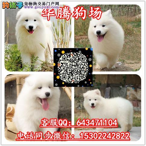 广州纯种萨摩耶雪橇犬价钱多少萨摩耶幼犬价格多少钱