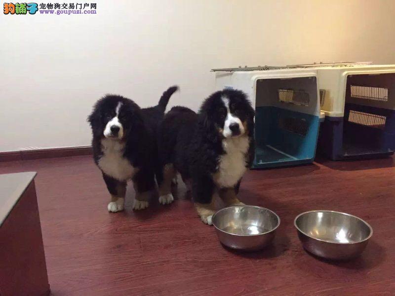 自家繁殖的纯种高端品质伯恩山幼犬出售