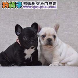 法牛幼犬 颜色多种价格合理品质高端