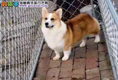 短腿柯基犬,威尔士柯基犬,聪明柯基犬