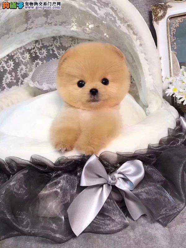 俊杰犬,冰雪聪明,小型犬,不掉毛颜色全