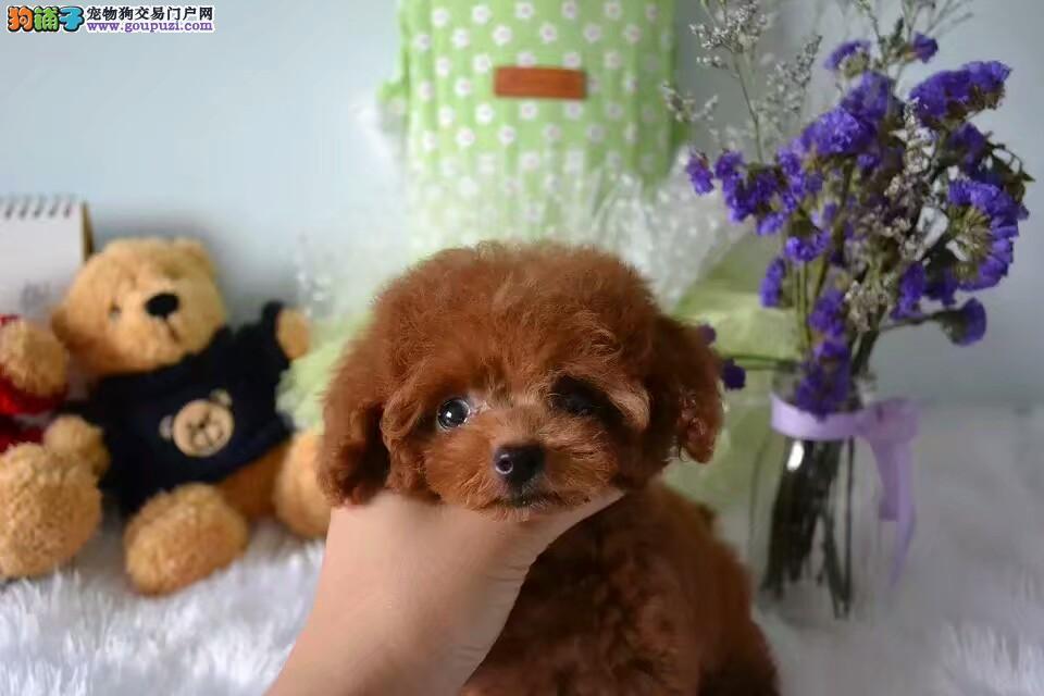 玩具茶杯标准,卷毛纯种泰迪宝宝,家庭最好伴侣犬