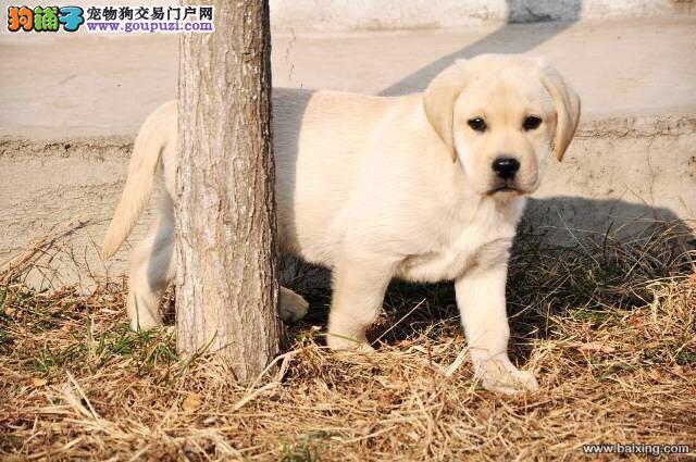 精品拉布拉多犬赛级拉布拉多犬忠诚犬适合家庭伴侣