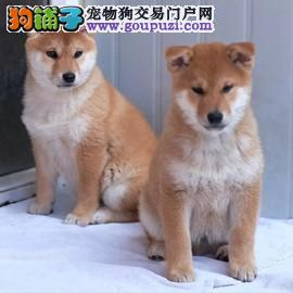 柴犬 纯种柴犬 犬舍出售柴犬