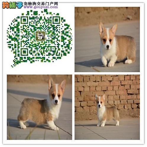 上海出售柯基幼犬 短粗腿火车头 纯种健康有保障