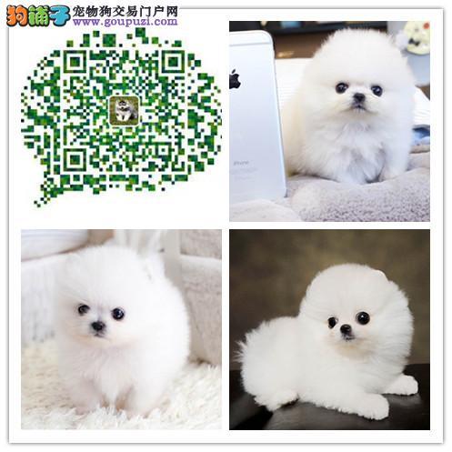 上海出售哈多利版球体博美幼犬 纯种健康品质有保障