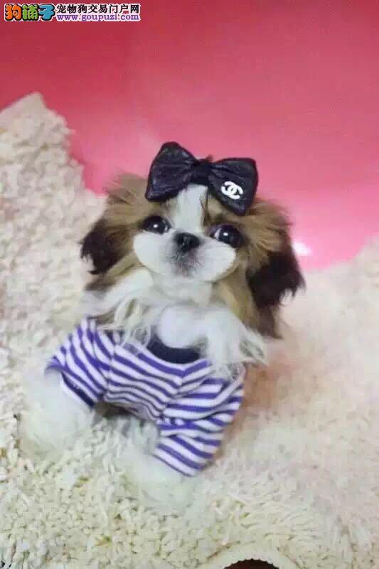 迷人可爱西施犬,聪明健康西施幼犬图片