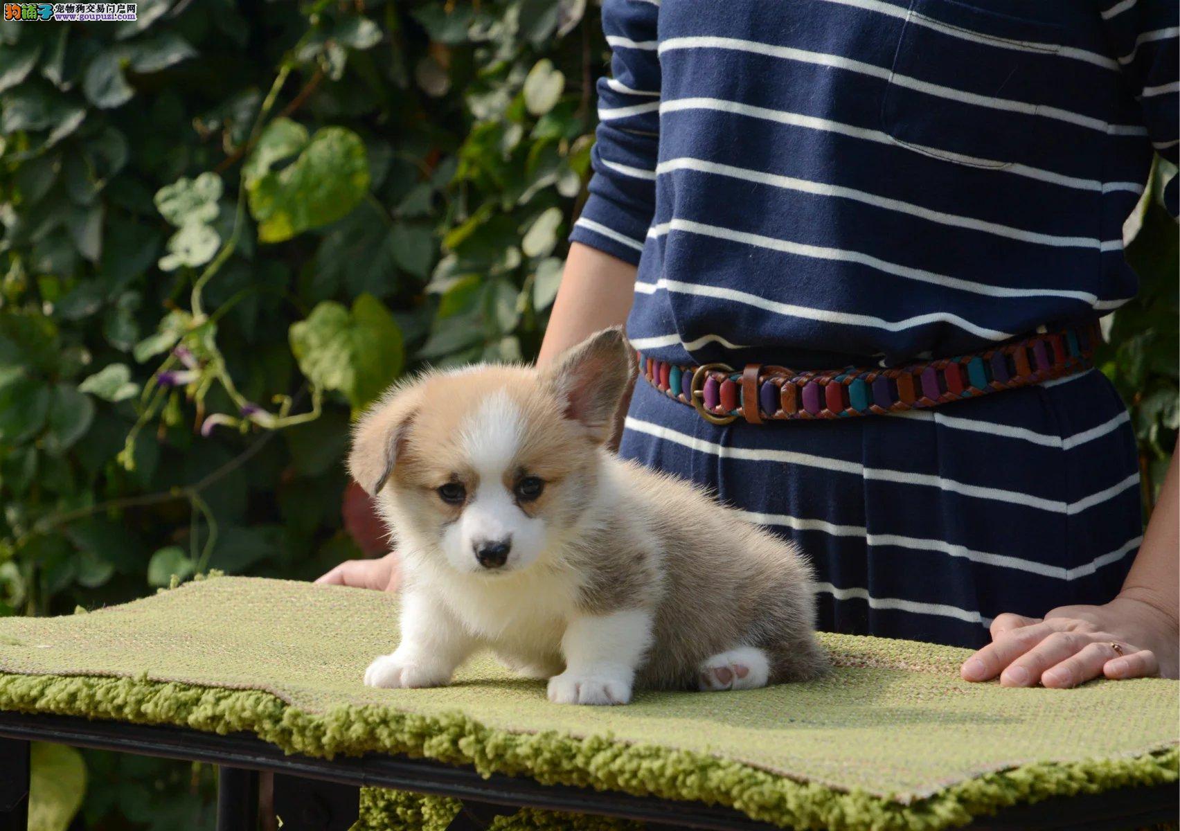赛系短腿柯基,两色三色幼犬,健康保三个月
