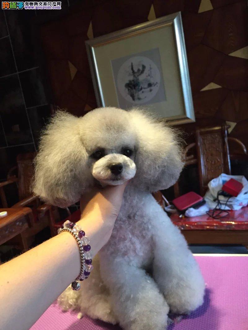 犬舍常年出售精品卷毛泰迪熊 颜色多种可选