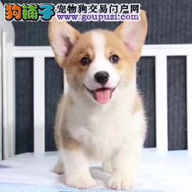 柯基犬 基地常年繁殖精品柯基幼犬