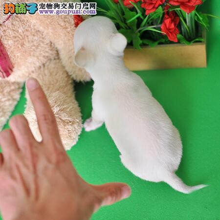 血统纯正最小最小的吉娃娃幼犬出售