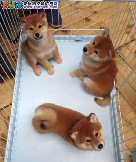 国外引进高品质,精品纯种柴犬
