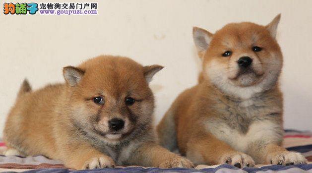 柴犬幼犬,柴犬价格,柴犬图片