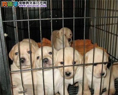 天津家庭繁殖精品拉布拉多便宜卖 自取1000一只