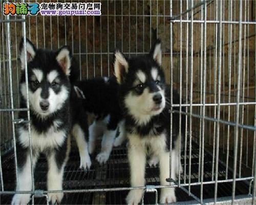 天津阿拉斯加犬血统纯正、承若包养活自取1000一只