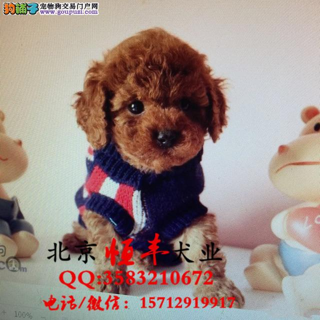 北京纯种泰迪图片北京泰迪犬舍北京茶杯体泰迪好养吗