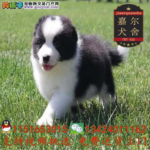 高品质纯种边牧幼犬七白三通高智商签包养活协议