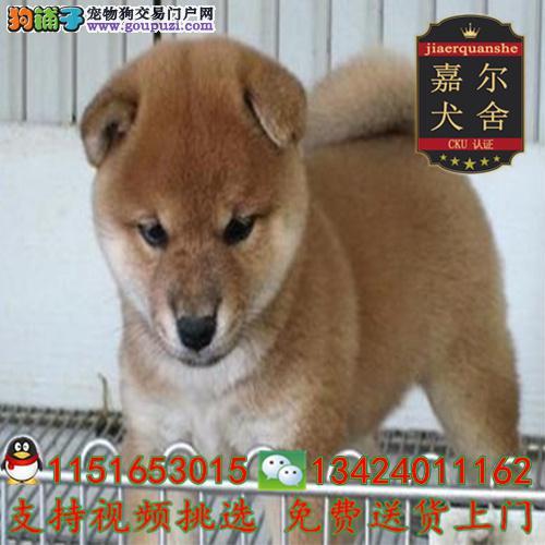 深圳正规犬舍 一品质保证一纯种日系柴犬幼犬