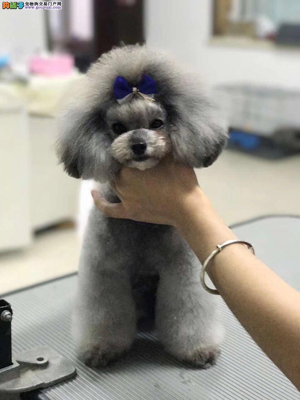 泰迪熊 纯种泰迪熊犬 精品泰迪幼犬