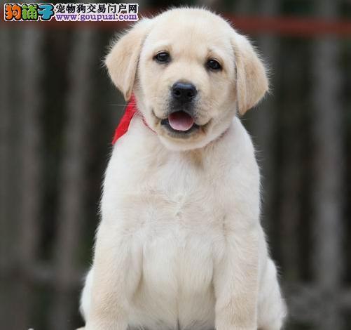 广州纯种拉布拉多幼犬怎么卖 广州哪里有卖拉布拉多
