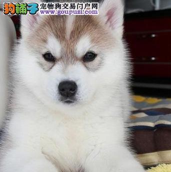 广州纯种哈士奇幼犬多少钱 广州哪里有出售哈士奇小狗