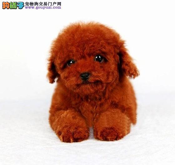 广州哪里有出售纯种贵宾幼犬 广州贵宾犬一只多少钱